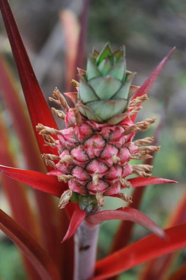 Behandla som ett barn ananas som växer på en växt arkivfoton