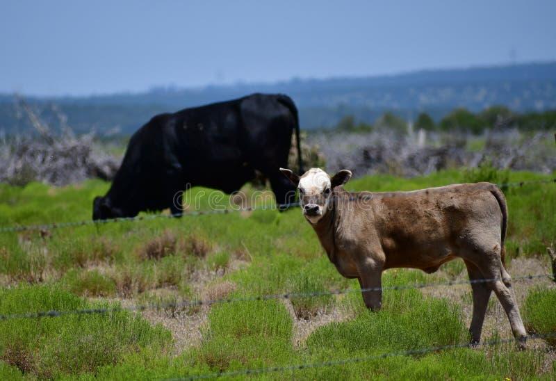 Behandla som ett barn Angus Cattle i ett fält i Texas royaltyfria bilder