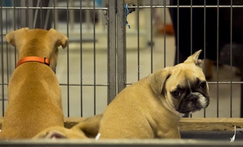 Behandla som ett barn arresten för den franska bulldoggen för hunden arkivfoton