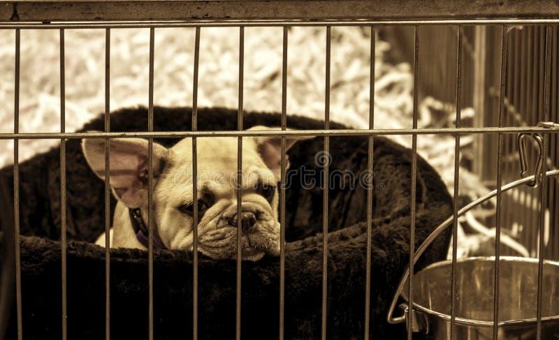 Behandla som ett barn arresten för den franska bulldoggen för hunden arkivbild