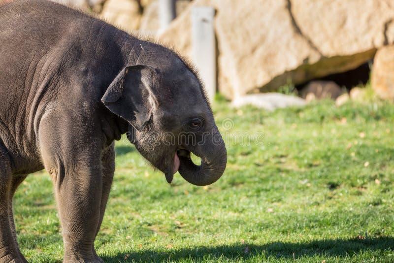 Behandla som ett barn att äta för elefant arkivfoto