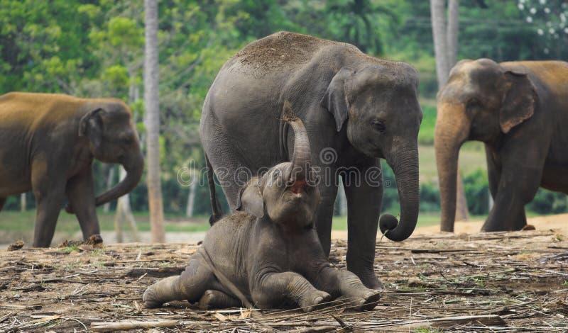behandla som ett barn att leka för elefantmoder royaltyfria bilder