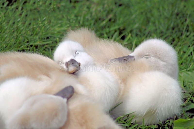 Behandla som ett barn att sova för Swans arkivbild