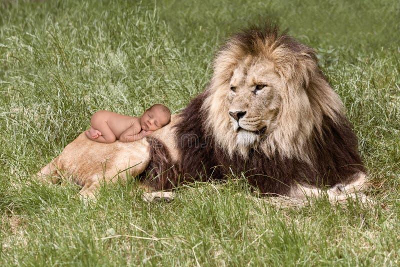 Behandla som ett barn att sova på lejon arkivfoto