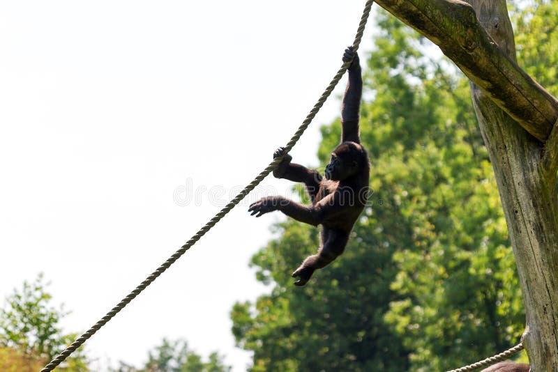 Behandla som ett barn att spela för gorilla arkivfoton