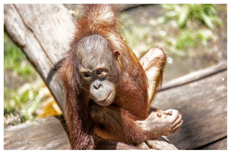 Behandla som ett barn att spela för orangutang arkivfoton