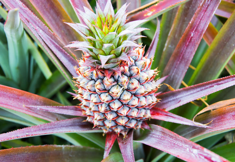 Behandla som ett barn att växa för ananasfrukt på en växt royaltyfri bild