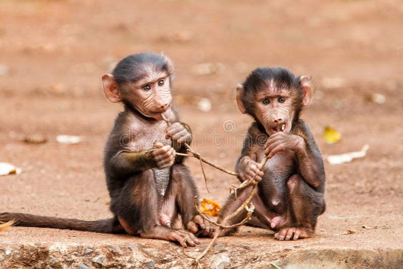 Behandla som ett barn babianer i Tanzania royaltyfri fotografi