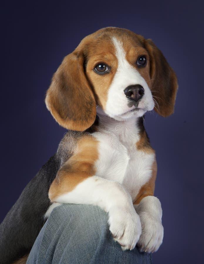 Behandla som ett barn beaglehunden royaltyfria foton