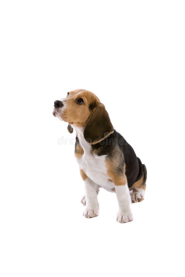 behandla som ett barn beaglen fotografering för bildbyråer