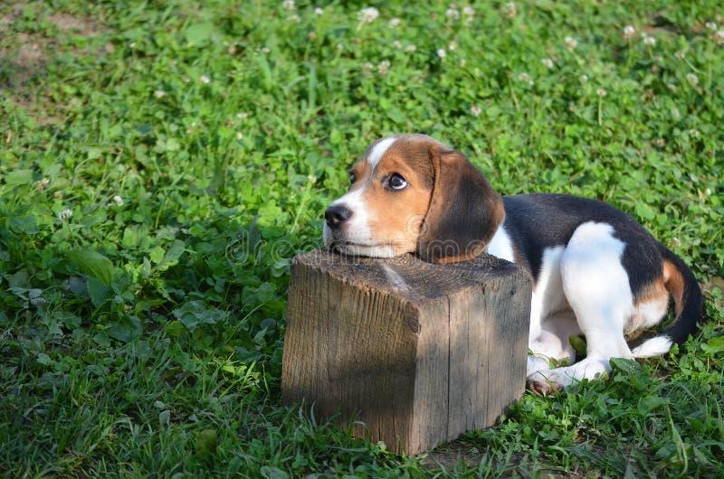 Behandla som ett barn beaglet fotografering för bildbyråer