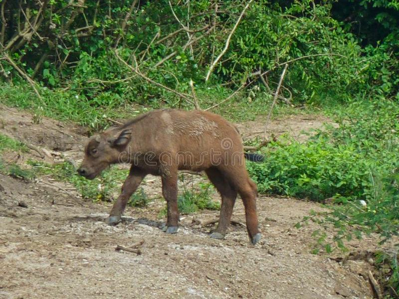 a behandla som ett barn bisonen i africa royaltyfria bilder