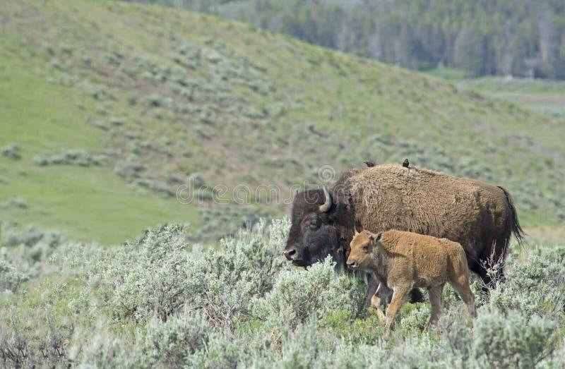 Behandla som ett barn bisonen som blir med mamman i den Yellowstone nationalparken arkivfoton