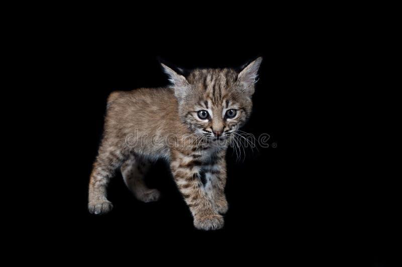 Behandla som ett barn Bobcat Kitten som isoleras på svart arkivfoton