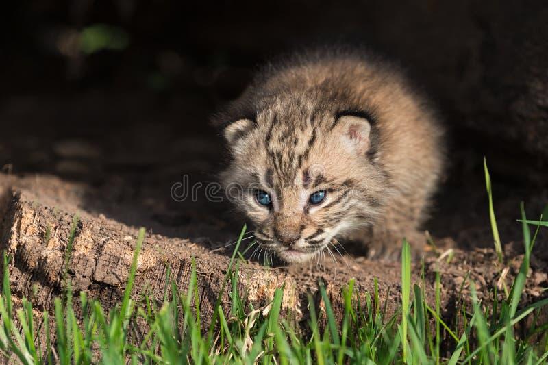 Behandla som ett barn Bobcat Kitten (lodjurrufus) krypanden ut från journal royaltyfria bilder