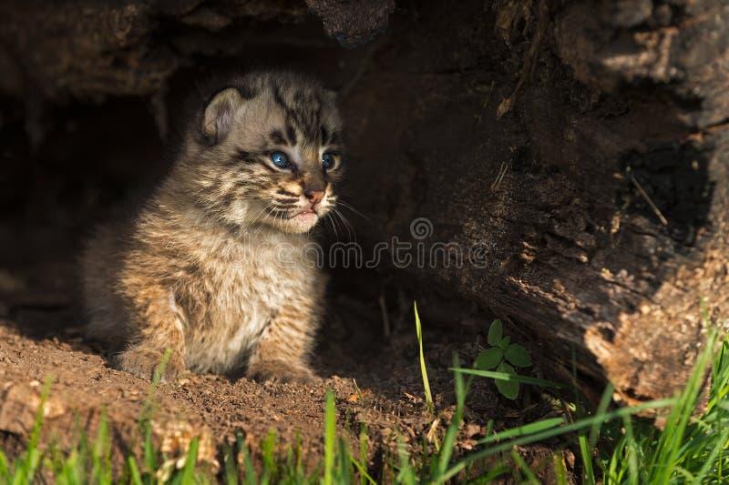 Behandla som ett barn Bobcat Kitten (lodjurrufus) som jämliken ut loggar från inre royaltyfri fotografi