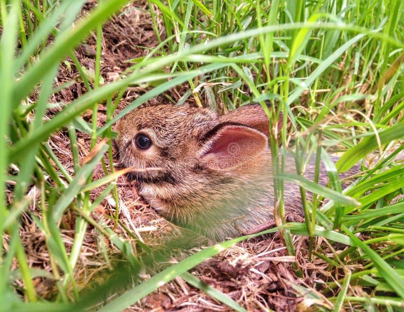 Download Behandla Som Ett Barn Bomullssvanskaninen I Fotografering för Bildbyråer - Bild av högväxt, gräs: 76701157