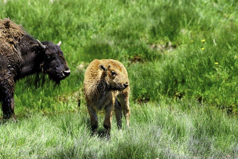 behandla som ett barn buffeln arkivfoton