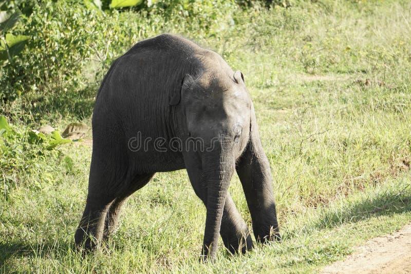 Behandla som ett barn den asiatiska elefanten som är ostadig på fot arkivbild