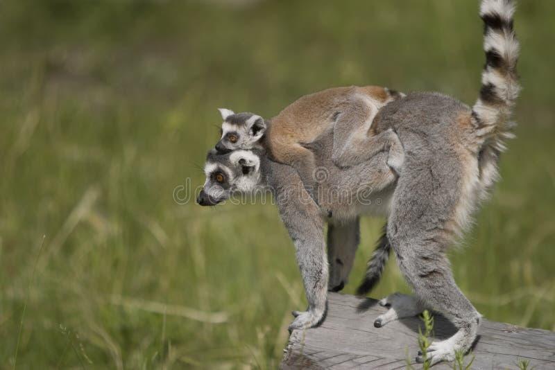 behandla som ett barn den bärande lemuren arkivbilder