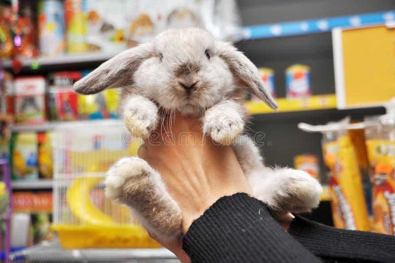 behandla som ett barn den gå i ax aveln lop kaninfår royaltyfri fotografi