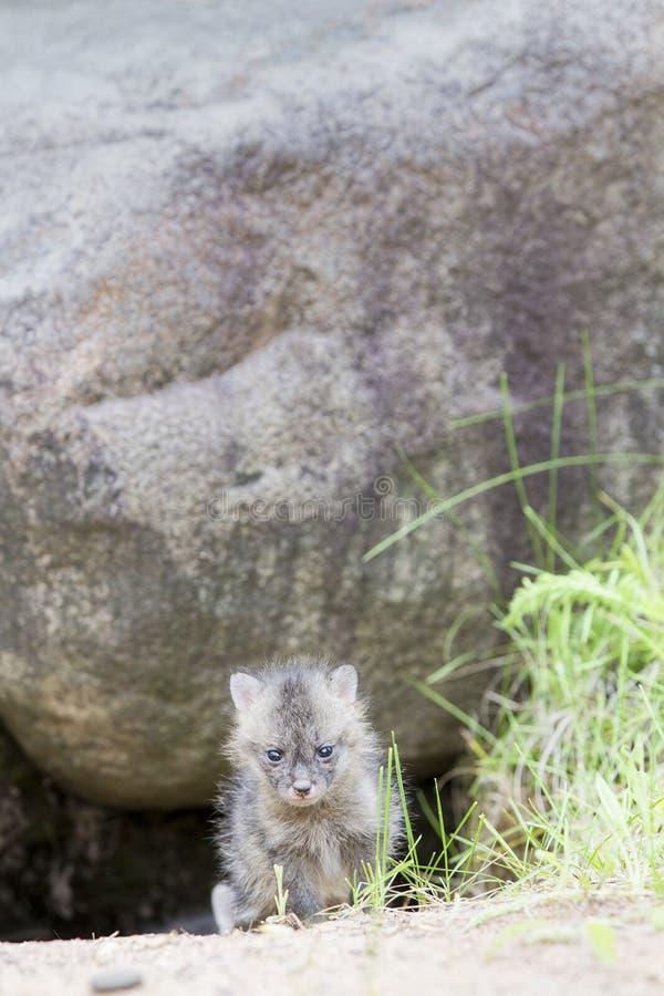 Behandla som ett barn den gråa räven fotografering för bildbyråer