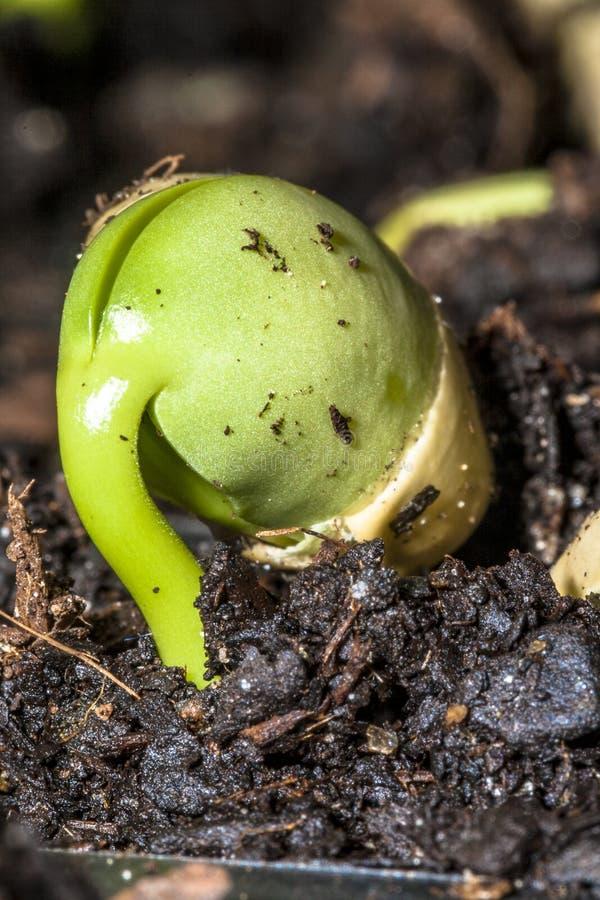 Behandla som ett barn den gröna sojabönan royaltyfri fotografi
