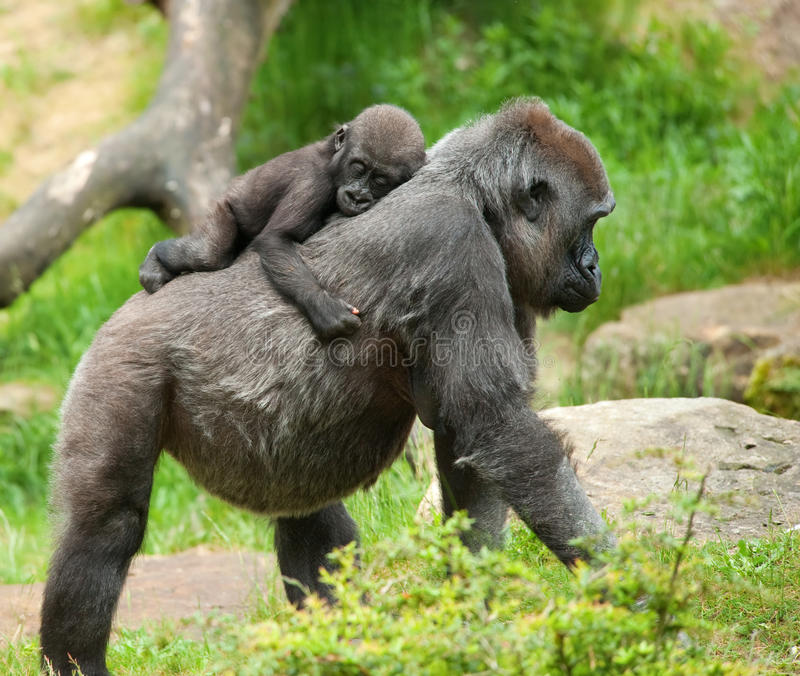 behandla som ett barn den gulliga gorillamodern royaltyfri foto