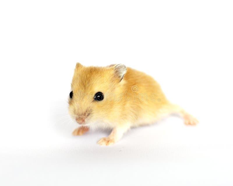 behandla som ett barn den gulliga hamsteren royaltyfri bild