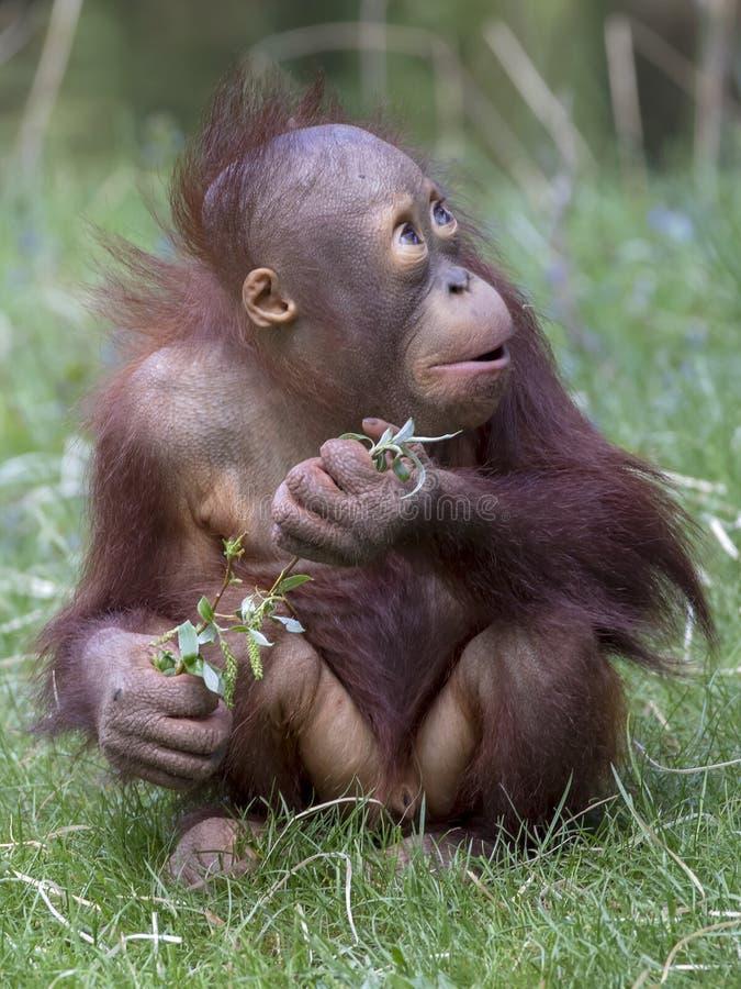 behandla som ett barn den gulliga orangutanen arkivfoton
