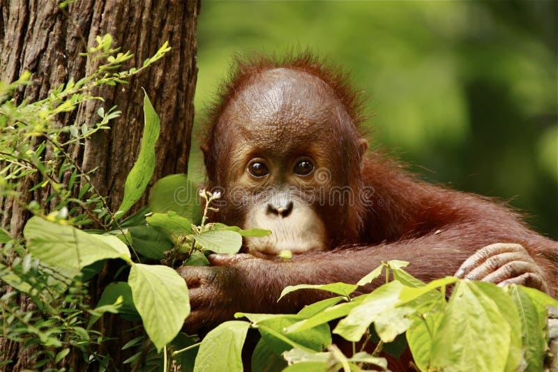 behandla som ett barn den gulliga orangutanen arkivbild