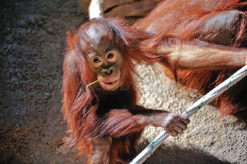 behandla som ett barn den gulliga orangutanen royaltyfri bild