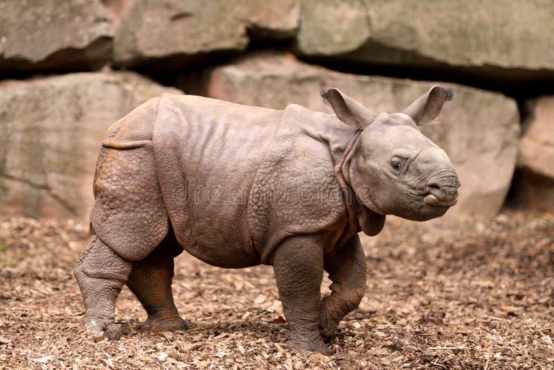 behandla som ett barn den indiska noshörningen arkivbild