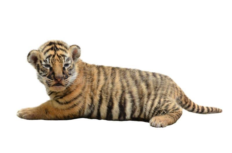 Behandla som ett barn den isolerade bengal tigern arkivbilder