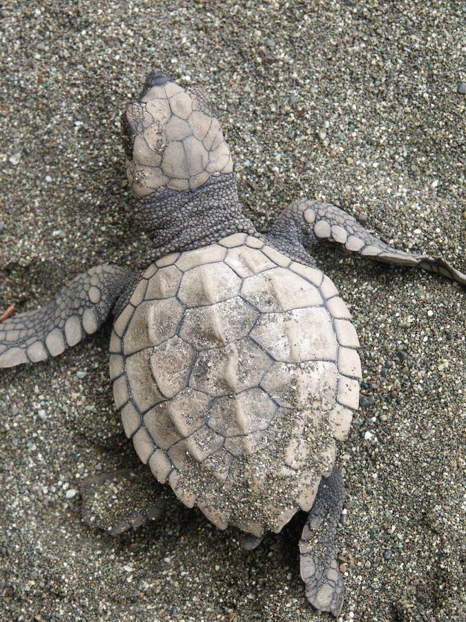 Download Behandla Som Ett Barn Den Olive Ridleyhavssköldpaddan Fotografering för Bildbyråer - Bild av hatchery, olivgrön: 32107