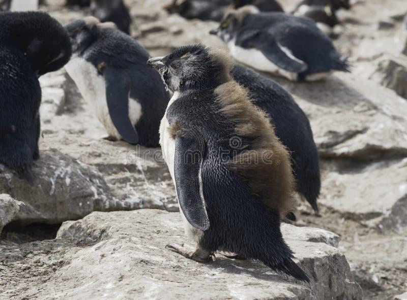 Behandla som ett barn den Rockhopper pingvinet, Falkland Islands fotografering för bildbyråer