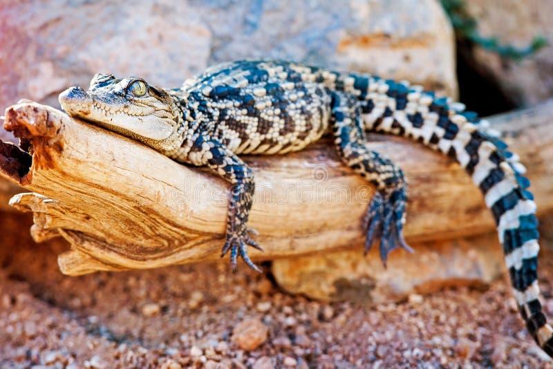 Behandla som ett barn den Siamese krokodilen på journal royaltyfri foto