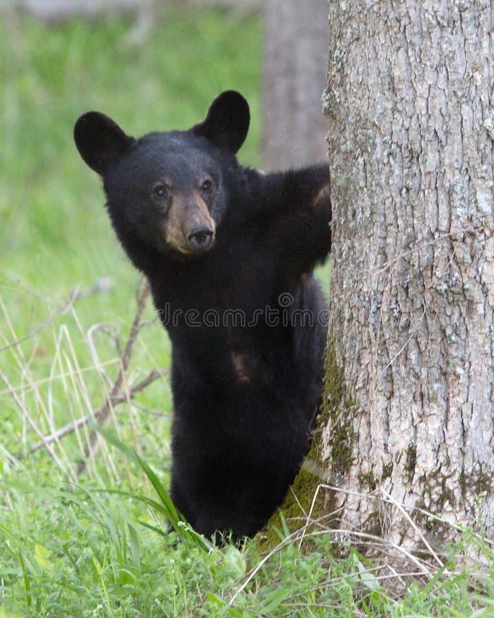 Behandla som ett barn den svarta björnen arkivbild
