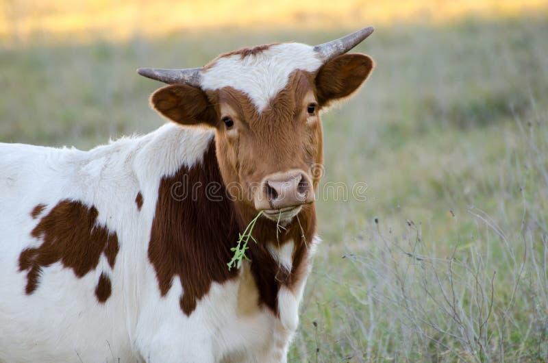 Behandla som ett barn den Texas longhorntjuren, drivved Texas royaltyfri bild