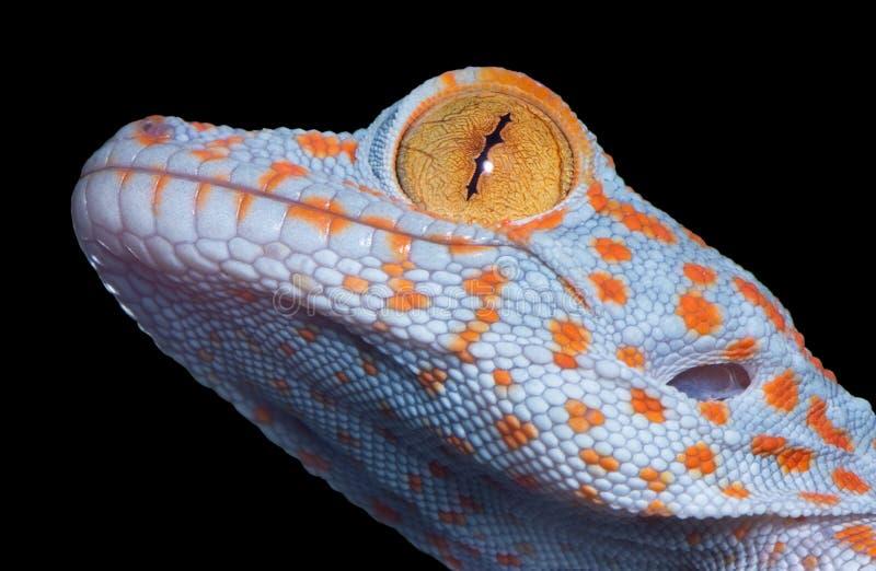 behandla som ett barn den tokay geckoen royaltyfri foto