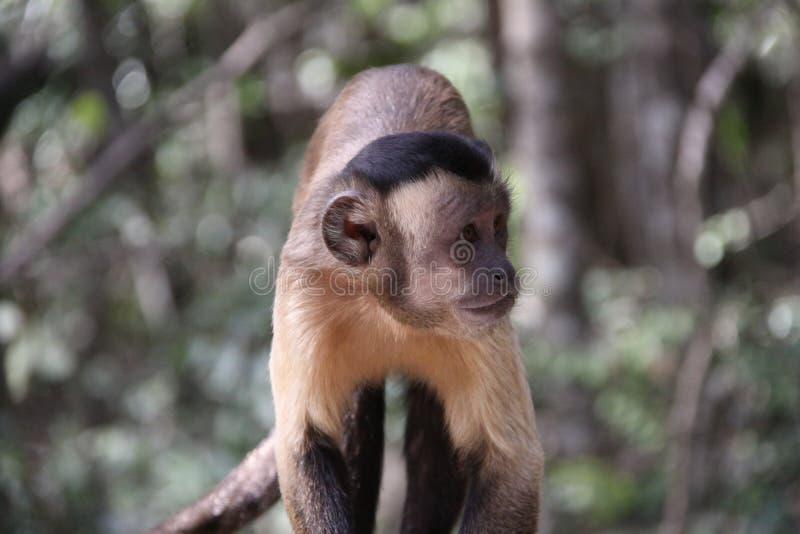 behandla som ett barn den tufted capuchinen fotografering för bildbyråer