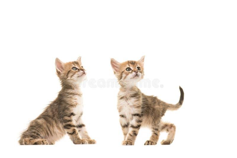 Behandla som ett barn den turkiska angoran för gullig strimmig katt två katter som står bredvid de båda som ser upp arkivfoto