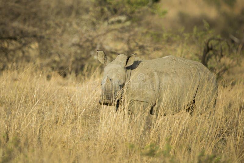 Behandla som ett barn den vita noshörningen i Sydafrika arkivbilder