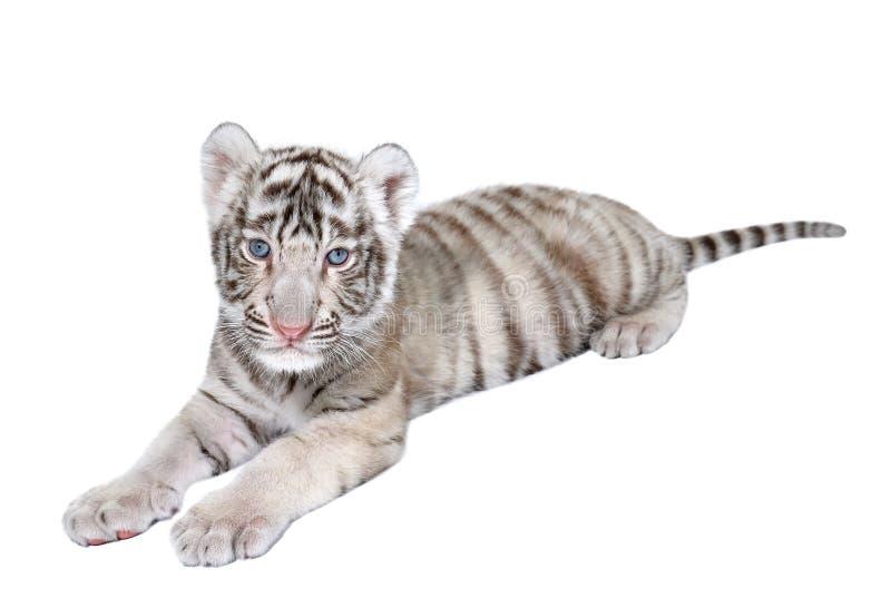 Behandla som ett barn den vita tigern fotografering för bildbyråer