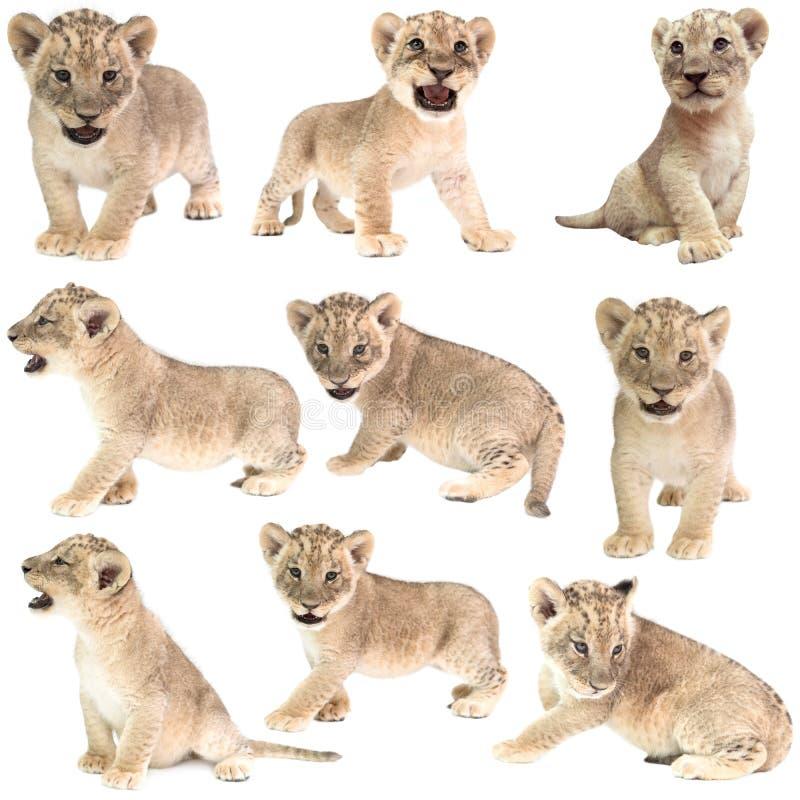 Behandla som ett barn det isolerade lejonet (pantheraen leo) royaltyfri foto