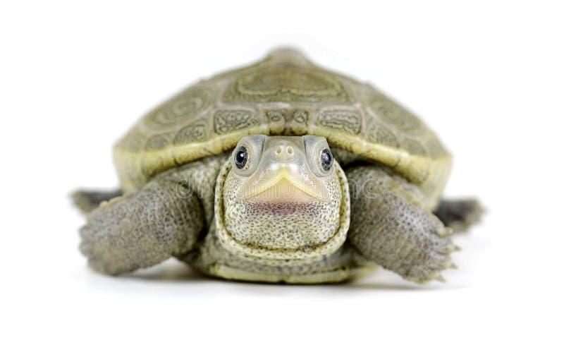 Behandla som ett barn Diamondbacksumpsköldpaddan på vit bakgrund royaltyfri fotografi