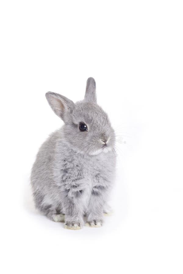 behandla som ett barn dvärg- grey för kaninen royaltyfria foton