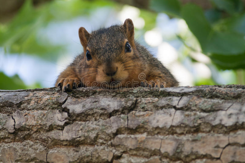 Behandla som ett barn ekorren i ett träd arkivbild