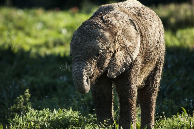 Behandla som ett barn elefanten som försöker att figurera ut hans stam royaltyfri bild