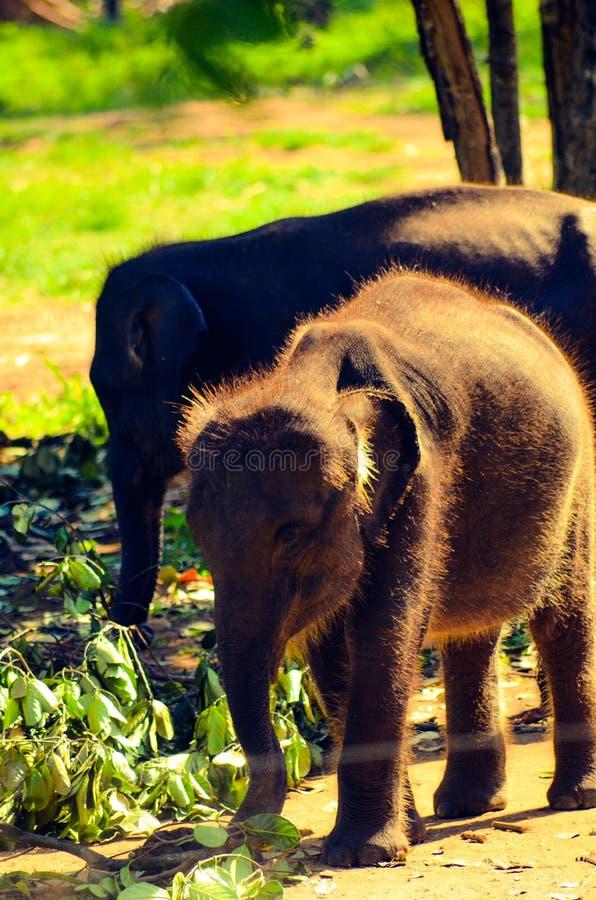 Behandla som ett barn elefanten i Sri Lanka royaltyfri fotografi